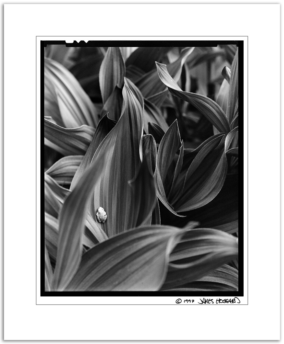 Tree-Frog-and-Corn-Lilly-Leaves