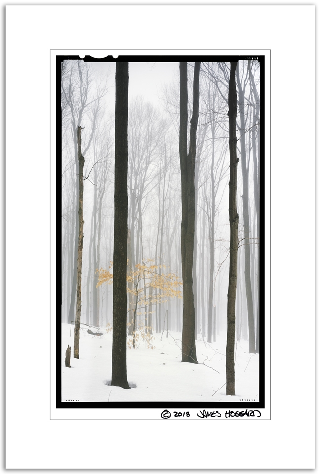 Beech-Leaves-and-Tall-Trees-in-Fog