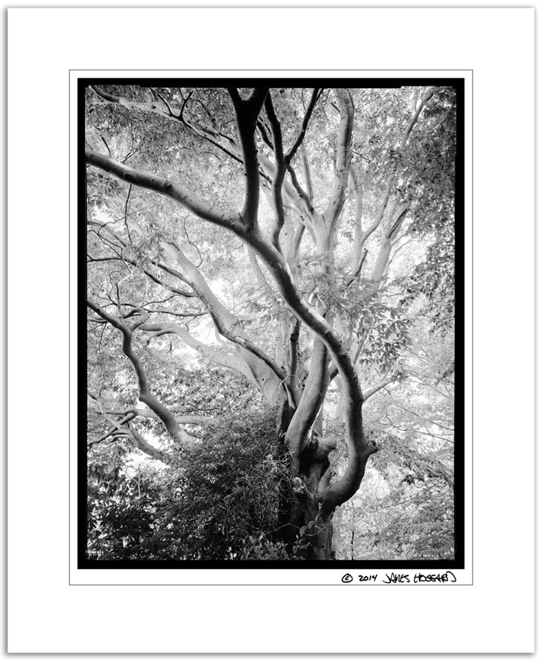Woodlot-Beech-