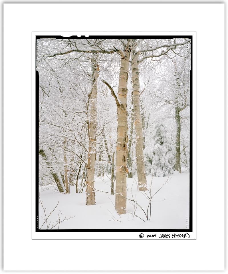Snowy-White-Birch-Print