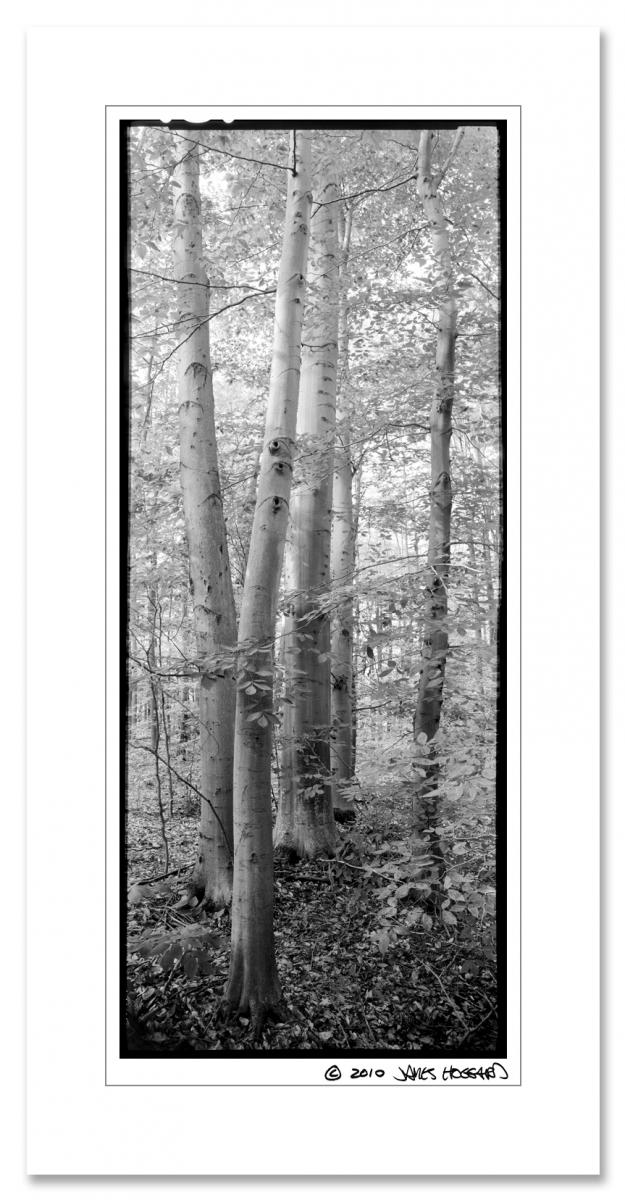 Beech-Tree-Grove2