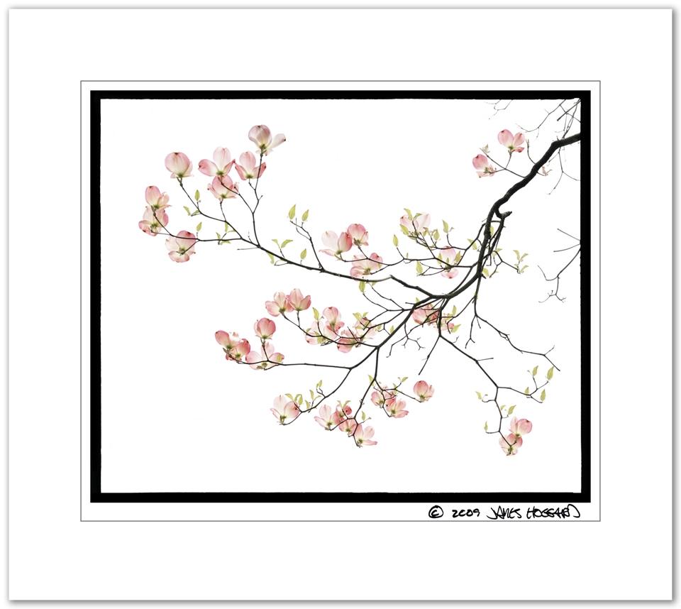Pink-Dogwood-Branch