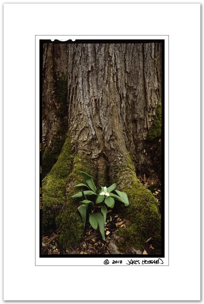 Trillium-Big-Oak-Tree-Trunk2