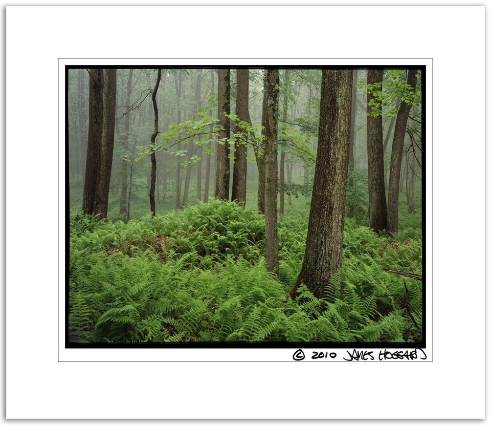 Foggy-Ferns