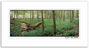 Bluebell, Two Log Panorama