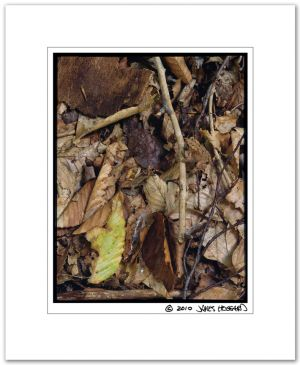 American Toad, Leaf Litter
