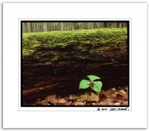 Red Trillium, Log