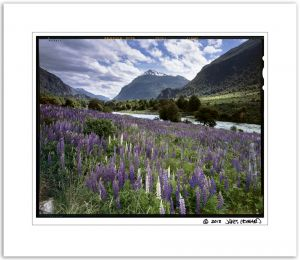 Manihuales Lupine Field