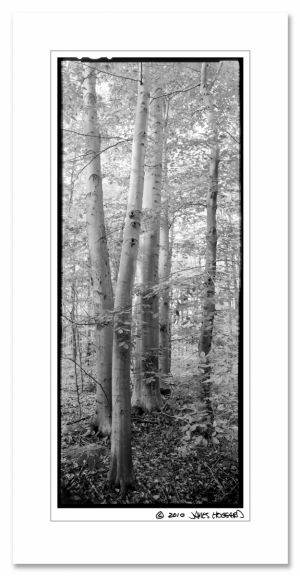 c53-Beech_Tree_Grove