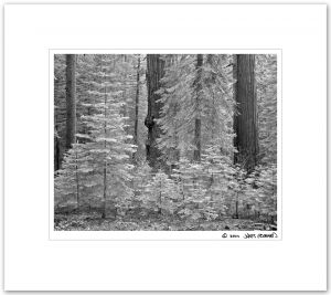Toulumne Grove, Giant Sequoias